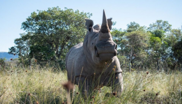 Igor the Rhino