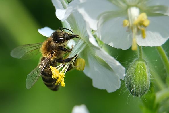 A honeybee pollinates a flower