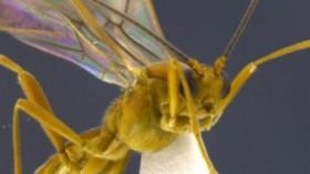 mummy-making Aleiodes wasp