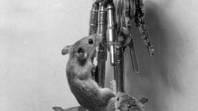 Pygmy Mice