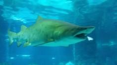 Female Shark Eats Male Shark At Aquarium In Seoul