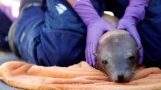 California Sea Lions Face Soaring Cancer Rates From DDT Dumping Decades Before