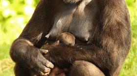 Taronga Zoo Welcomes Baby Gorilla