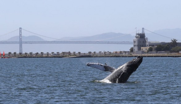 Humpback Whale In Alameda Lagoon Causes Concern Over Its Health