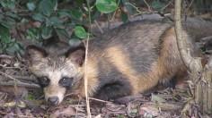 Tanuki the Raccoon Dog