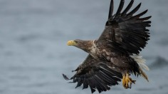 White-Tailed Eagles Monitored Ahead Of UK Reintroduction