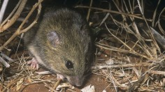Lakeland Downs mouse
