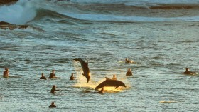 Dolphins Frolic With Surfers In Sydney