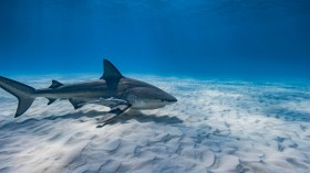 Bull shark swimming on a sandy bottom