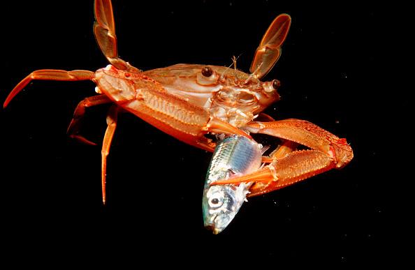 Crab eating a fish