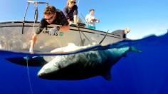 Tiger shark. Galeocerdo cuvier. tagging. Kaneohe. Oahu. USA