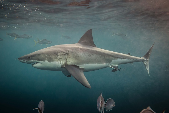 5 Biggest Sharks to Have Ever Lived in the Ocean - Nature World News