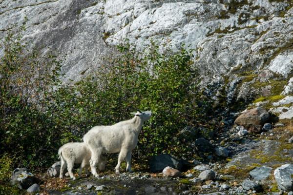 Mountain goats (Oreamnos americanus) browsing on bushes in ALASKA,