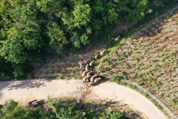 Wild Elephants Wander In Yunnan