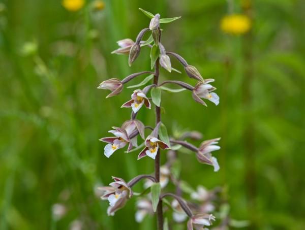 More orchids in Brandenburg
