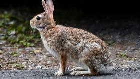Rabbit On Pavement In Pennsylvania