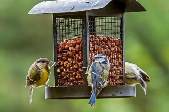 Birds feeding on nuts from bird feeder