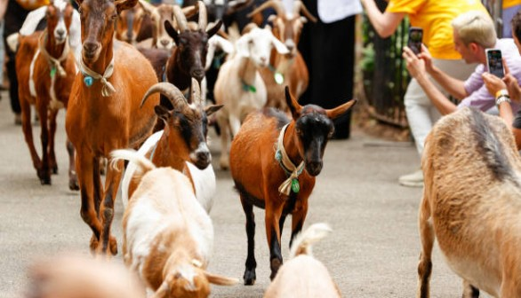 Running of the Goats