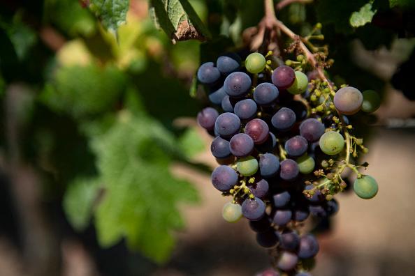 Spotted Lanternfly enjoy feeding on grapes