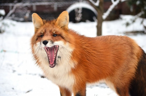 Birds can steal fur from a fox to make their nest comfortable