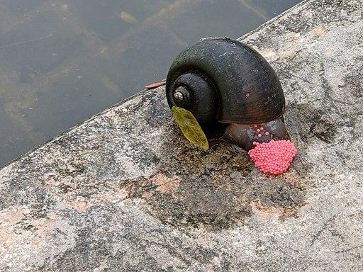 Golden Apple Snail