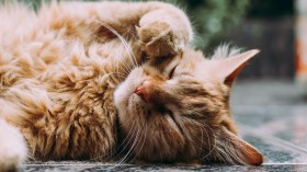 Orang Persian Cat