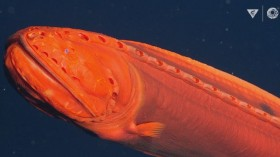 'Shape-Shifting' Fish That Has Been Eluding Experts for 100 Years Filmed Off California Coast