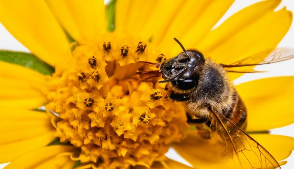 Black and Brown Bee