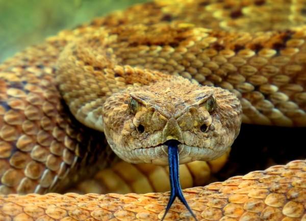 Rattlesnake in Arizona