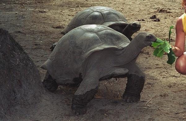 Seychelles tortoise