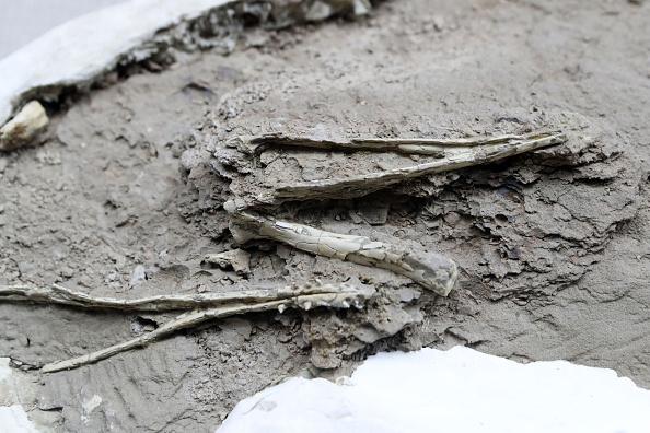 Fossilised pterosaur mandible
