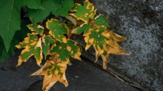 brown and green maple leaf