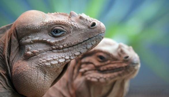 Pair of Rhinoceros Iguanas