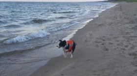 border collie patrols Lake Michigan beach