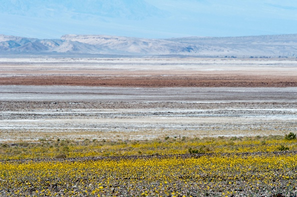 Wildflowers are seen near the salt flats in Death Valley National Park