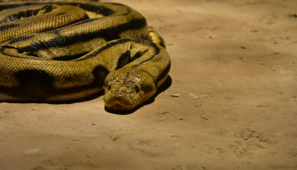 Scientists May Rely on Radioactive Snakes in Fukushima to Detect Fallout in Disaster Zone