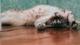 Cat Lying Down