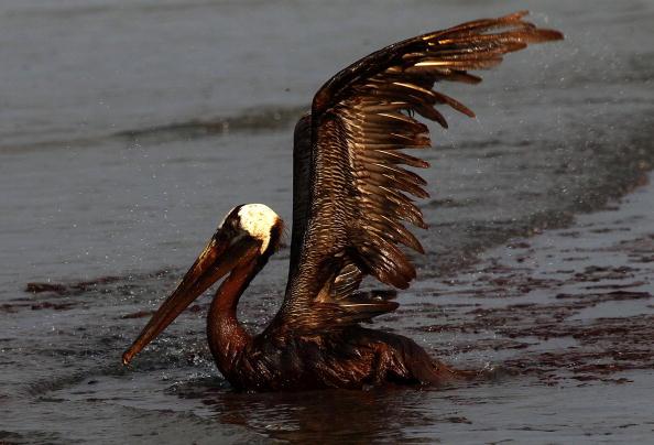 An oil-soaked bird