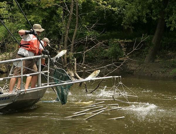 Electrofishing for the asian carp invasive species