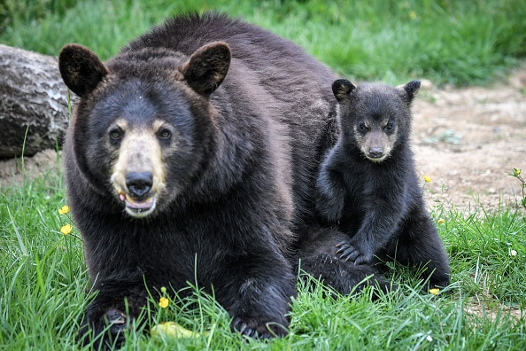 Black bear and her cub