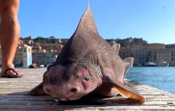 Pig-Faced Shark