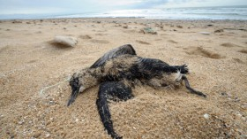 Body of a guillemot washed up on a beach