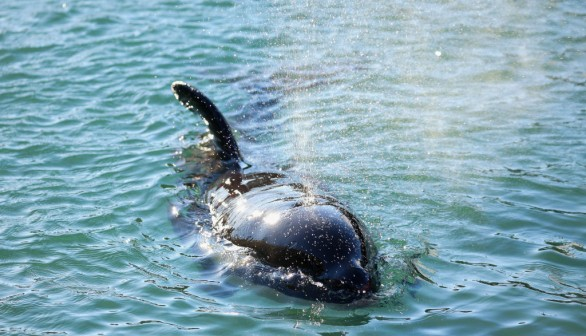 New Zealand Rescuers Work To Reunite Stranded Baby Orca With Pod