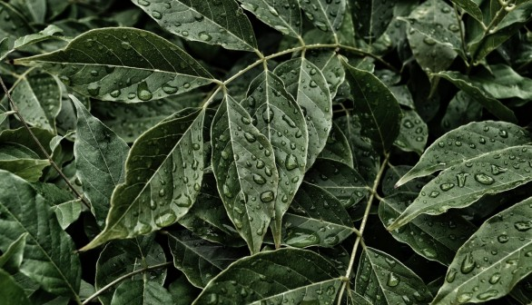 Green Ovate Leaves