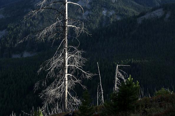 A mountain pine beetle-killed lodgepole pine tree rises like gray ghost