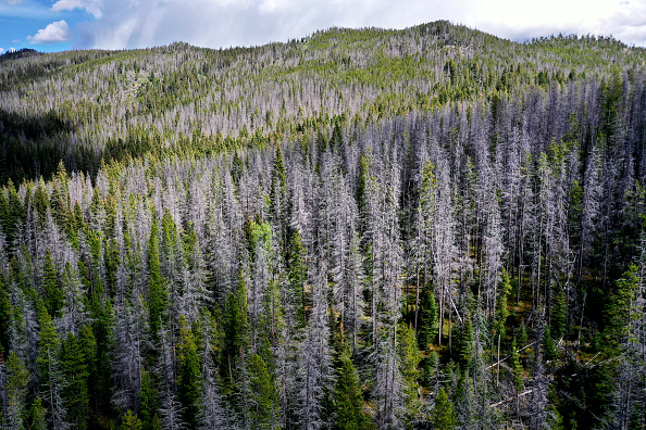 Dead lodgepole pine stand out like grey ghosts among living trees