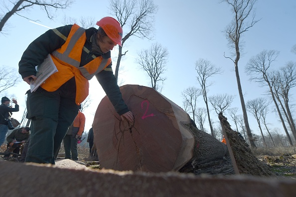 A person looking at the growth rings of a tree
