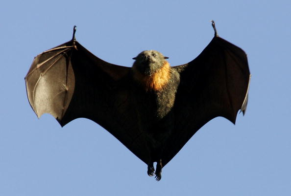 New Type of Hendra Virus Detected in Flying Foxes in Broad Region of Australia