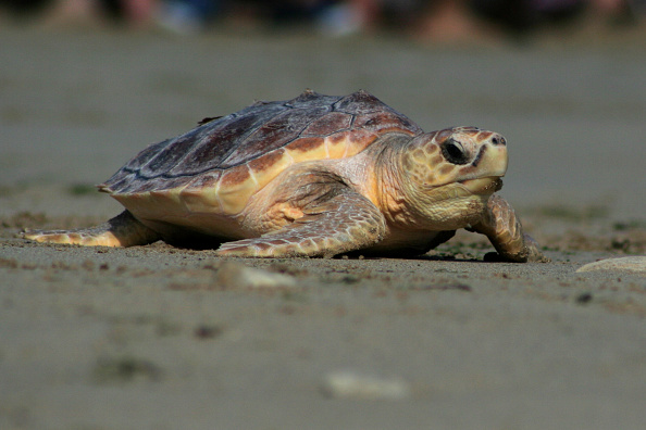 Incredible! Two-Headed Turtles in Massachusetts Are Thriving Despite of Rare Condition