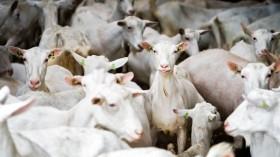 NETHERLANDS-ANIMALS-GOAT-FEATURE